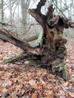 Old father Oak still endures by Spirit Of Old by SpiritOfOld