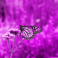 butterfly layer pinkish purple by Moon-WillowStock