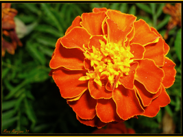 Marigold by LenSpirations