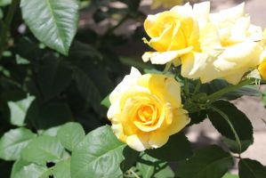 Yellow Roses by bagera3005