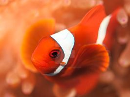 Anemonefish by MotHaiBaPhoto