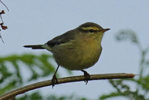 Tickell's Leaf Warbler by himphotography