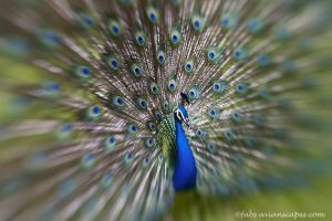 The beauty of a Peacock by FForns