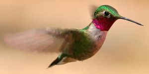 humming bird by birdiebird279