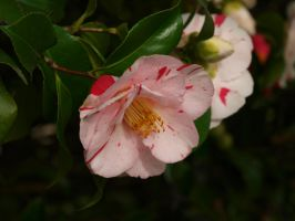 Camellia 50 by botanystock