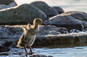 Young mallard at sunrise by GuillaumGibault