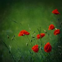 field poppies by BlauBeerKuchen