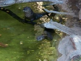 Phoenix Zoo otters by Tanis711