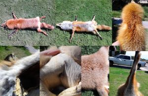 Big male Red Fox For Sale! by MilkyFoxWhiskers