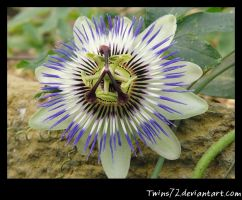 Blaue Passionsblume by Twins72