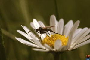Gadfly on Daisy by diRty91