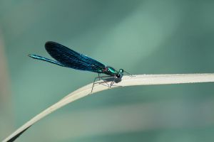 Blue winged firefly by AndreaP95