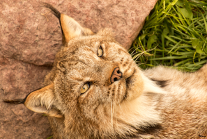 Relaxed Lynx by sequential