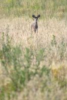 Young Buck by OrioNebula