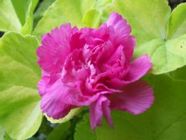 Pink Carnation by Life-Is-Fake