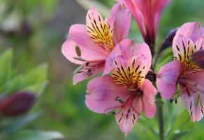 Pink Inca lilies by MaresaSinclair