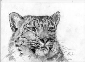 Snow leopard by Oll