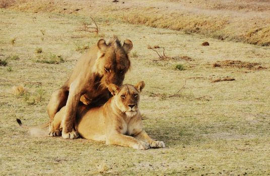 lions mating by Mofazio