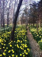 Daffodil Field at Parson's Reserve by 1JesusOfSuburbia