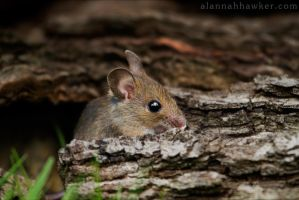 Little Mouse 02 by Alannah-Hawker