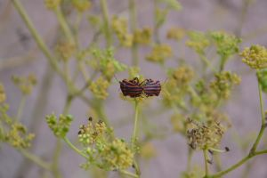 Graphosoma lineatum by A1Z2E3R