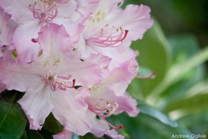 Rhododendron - 05 by PrimalOrB