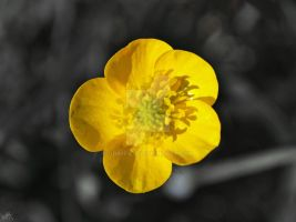 Buttercup by GrimFay