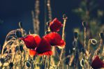 poppies...... by nbd12