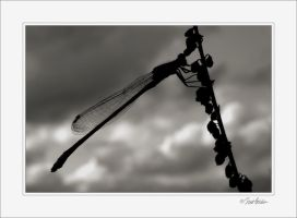 Dragonfly Silhouette by solodaddy