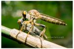 santapan besar robber fly by deproduct