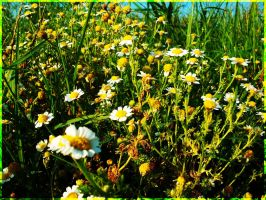 Chamomile flowers by Roxierif