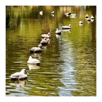 Ducks in a Row by hell0z0mbie