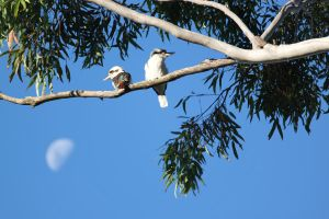 Kookaburras by Little-Angel33