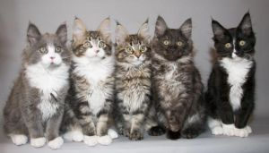 Maine coon B kittens by ropo-art
