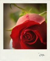 The enchanted rose. by Mrs-Ivy