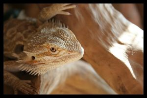 Bearded Dragon - Sun eye by beegearama