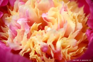PEONY BOWL OF BEAUTY by GeaAusten