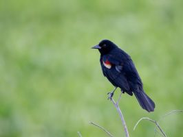 Red-winged Blackbird by deseonocturno