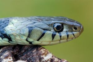 The Grass snake by AngiWallace