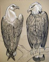 Eagles Sketch 2 by HouseofChabrier