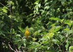 Stock | Yellow Warbler by ShadowsStocks
