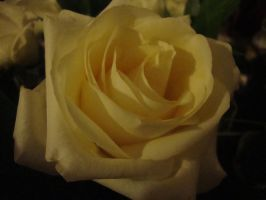 White Rose 1 by versaillesjewels