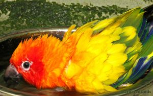 Froggy - Sun Conure by featheredfinds