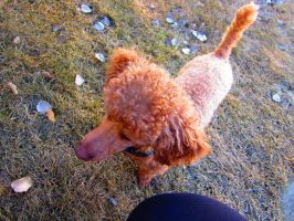 Toy Poodle 59 by Andahliasaur