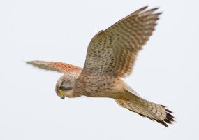 Hovering Kestrel by Jamie-MacArthur