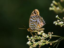 Butterfly Beauty by InayatShah