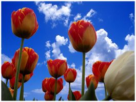 tulips . by Elass