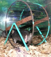Tiny Black House Mouse Wheel by Gracies-Stock