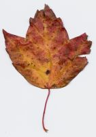crunchy yellow maple leaf by tash11-stock