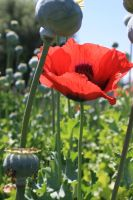 Poppies in the Lavender by rivoluzionario